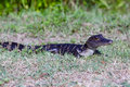 Baby alligator in the grass Royalty Free Stock Photography