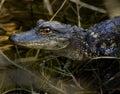 Baby Alligator on Log Royalty Free Stock Photo