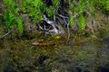 Baby Alligator sunning in the Swamp Royalty Free Stock Photo