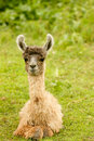Baby Alpaca Royalty Free Stock Photos