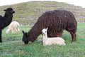 Baby alpaca with mother and her young in nature Stock Photo