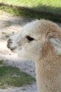 Baby alpaca young poses at wildlife park in ballarat victoria australia Royalty Free Stock Images