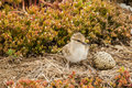 Baby american avocet chick standing in nest with an unhatched egg Royalty Free Stock Photo