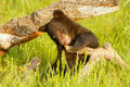 Baby american black bear ursus americanus playing with a log Stock Images