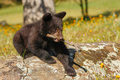 Baby american black bear ursus americanus playing with a stick Royalty Free Stock Photos