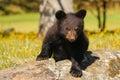 Baby american black bear ursus americanus sitting on rocks Stock Images