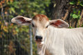 Baby american brahman the breed has a distinct large boil over the top of the shoulder and neck and a loose flap of skin dewlap Royalty Free Stock Image