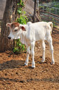 Baby american brahman the breed has a distinct large boil over the top of the shoulder and neck and a loose flap of skin dewlap Stock Photos