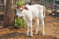Baby american brahman the breed has a distinct large boil over the top of the shoulder and neck and a loose flap of skin dewlap Royalty Free Stock Photo