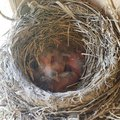 Baby American red robin birds in their nest Royalty Free Stock Photo
