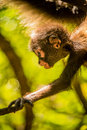 Baby ape at cape town Royalty Free Stock Photo