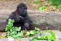 Baby ape eating fruit at taronga zoo in sydney australia Royalty Free Stock Images