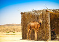 Baby arabian camel or dromedary also called a one humped camel i in the sahara desert tunisia Royalty Free Stock Images