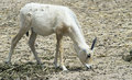 Baby of Arabian Oryx antelope Stock Photo