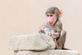 Baby baboon learning to eat through play Royalty Free Stock Photo