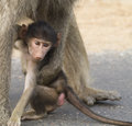 Baby baboon with it s mother taken in the kruger national park south africa Royalty Free Stock Photos