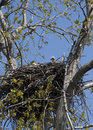 Baby bald eagle in nest eaglet with fuzzy head poking above the edge of the Royalty Free Stock Photography