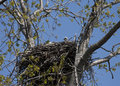 Baby bald eaglet in nest with fuzzy head sticking out above the Royalty Free Stock Image