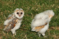 Baby Barn Owls Royalty Free Stock Images