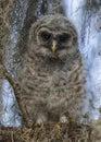 Baby Barred Owl (Strix Varia) - Florida