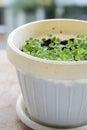 Baby basil plant Royalty Free Stock Photo