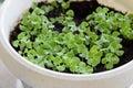 Baby basil plants Royalty Free Stock Photo