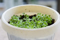 Baby basil plants in a pot Royalty Free Stock Photo