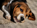 Baby Beagle Dog Royalty Free Stock Photo