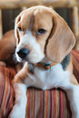 Baby beagle on orange pillow sofa Stock Photography