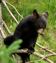 Baby bear up a tree Stock Image