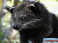The baby bearcat in staring mood at khao keaw open zoo this photo was taken on th apr Royalty Free Stock Images