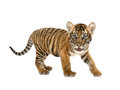 Baby bengal tiger isolated on white background Royalty Free Stock Photos