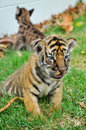 Baby bengal tiger and kitten are very similar but is a bigger than kitten Royalty Free Stock Photography