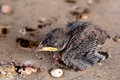 Baby bird little fallen from the nest Royalty Free Stock Photos