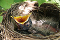 Baby bird in nest Royalty Free Stock Photo