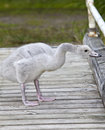 The baby bird of swan a Royalty Free Stock Photo