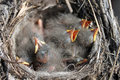 Baby birds Stock Image