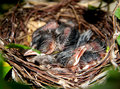 Baby birds in the nest three sleeping happiness on tree Stock Photos