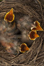 Baby birds open mouths robin in a nest with four Royalty Free Stock Images