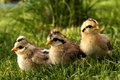 Baby birds-quail. Royalty Free Stock Photos