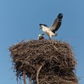 Baby birds of a white stork in a nest one without parents Stock Photos