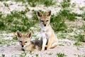 Baby black-backed jackal, Canis mesomelas, Hwange, Zimbabwe Royalty Free Stock Photo