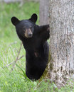 Baby black bear in cades cove smoky mountain national park tn Stock Photography