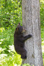 Baby black bear cub Royalty Free Stock Photo