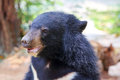 Baby black bear portrait Stock Photos