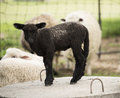 Baby Black Sheep Royalty Free Stock Photo