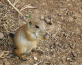 Baby Black-Tailed Prairie Dog (Cynomys ludovicianus) Nibbling Stock Photos