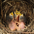 Baby blue birds in a nest four with mouths wide open waiting to be fed Stock Images