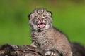 Baby Bobcat Kit (Lynx Rufus) C...