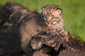 Baby Bobcat (Lynx Rufus) Gazes...